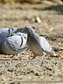 Hill Pigeon (Columba rupestris) (46323859844).jpg