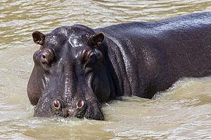 ISimangaliso Wetland Park - Hippopotamus at Isimangaliso Wetland Park, KwaZulu-Natal