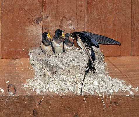 The image shows a barn swallow when feeding her young in the nest.