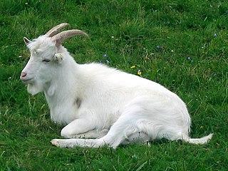 Danish Landrace goat goat breed