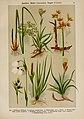 Hoffmann-Dennert botanischer Bilderatlas (Taf. 18) (6424990071).jpg