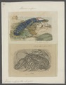 Homarus vulgaris - - Print - Iconographia Zoologica - Special Collections University of Amsterdam - UBAINV0274 097 02 0002.tif