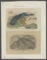 Homarus vulgaris - - Print - Iconographia Zoologica - Special Collections University of Amsterdam - UBAINV0274 097 02 0002.tif