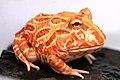Horned Frog (7).jpg