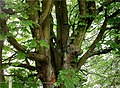 Horse chestnut tree, Gisburn Forest - geograph.org.uk - 333490.jpg