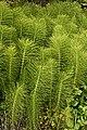 Horsetails - geograph.org.uk - 469146.jpg