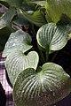 Hosta sieboldiana Elegans 4zz.jpg