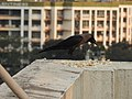 House Crow Corvus splendens by Raju Kasambe DSCN0468 (7) 07.jpg