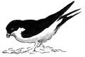 Huiszwaluw Delichon urbica Jos Zwarts 16.tif