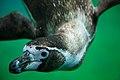 Humboldt Penguin (9217822828).jpg
