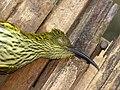 Hunting Bird Streaked Spiderhunter IMG 3929 03.jpg