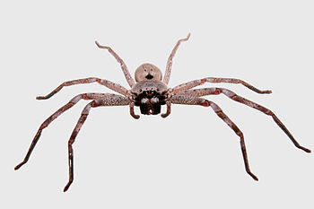 Huntsman spider grey bg03
