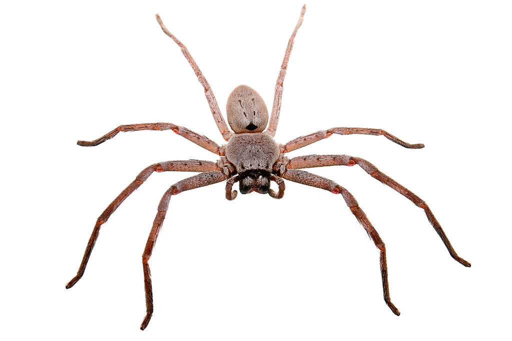 File:Huntsman spider white bg04.jpg - Wikimedia Commons