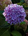 Hydrangea 'Endless Summer Blue' Capel Manor College Gardens Enfield London England.jpg