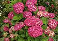 Hydrangea macrophylla 01 Crop.jpg