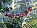 Hyles euphorbiae, Lepidoptera, Sphingidae.jpg