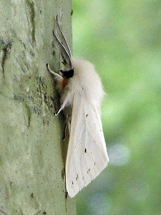 Fall webworm - Image: Hyphantria cunea, adult