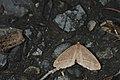 Hypochrosis insularis (23479620004).jpg