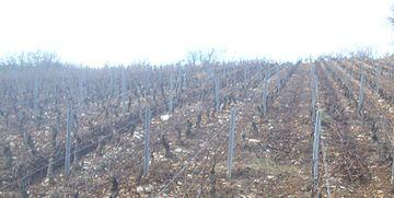 IMG Vignes à Mercurey.JPG
