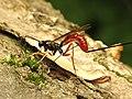 Ichneumon Wasp (34396552806).jpg