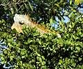 Iguana (4233168163).jpg