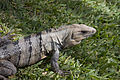 Iguana 2 (4385115928).jpg