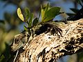 Iguana in a Tree - Flickr - treegrow (1).jpg