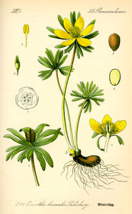 Illustration Eranthis hyemalis0.jpg