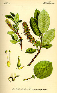 Illustration Salix hastata0