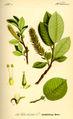 Illustration Salix hastata0.jpg