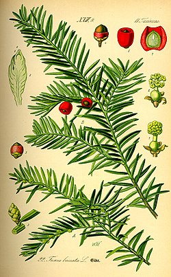Illustration Taxus baccata0.jpg