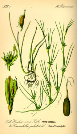 Illustration Zostera noltii0.jpg