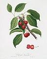 Illustration from Pomona Italiana Giorgio Gallesio by rawpixel00031.jpg
