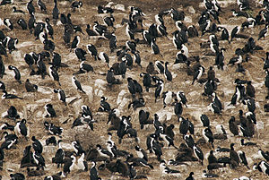 Imperial shag - A large colony of L. (a.) albiventer at the Beagle Channel, Argentina. Notice the numerous all-brownish chicks.