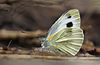 Indian Cabbage White.jpg