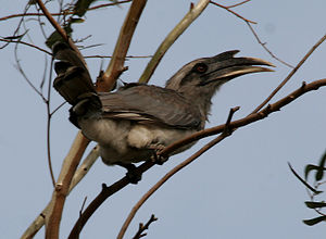 Indian Grey Hornbill (Ocyceros birostris) in Hyderabad W IMG 8885.jpg