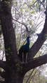 Indian peacock.png