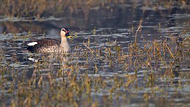 Indian spot-billed duck.jpg