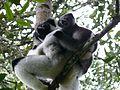 Indri+bebe.JPG
