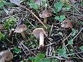 Inocybe leiocephala 816360.jpg