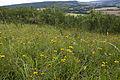 Inula salicina coteau-charteves 02 23062007 24.jpg