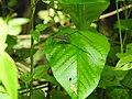 Invertebrate Tettigoniidae (Katydid) 02.jpg