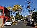 Ipê Amarelo (Tabebuia serratifolia) em frente a sede da OAB de Guariba na Avenida Antônio Albino. - panoramio.jpg