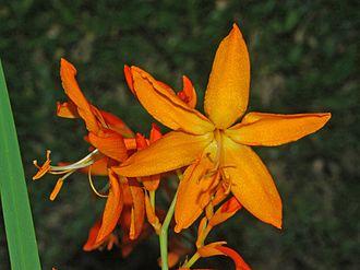 Crocosmia aurea - Image: Iridaceae Crocosmia aurea