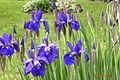Iris bunch.JPG