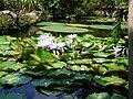 Ischia la Mortella Nymphaea lotus 1130756.JPG