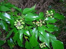Soul calibur ivy