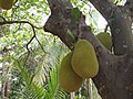 Jack fruit-kkm.jpg