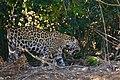 Jaguar (Panthera onca) female on the riverbank ... (48710188206).jpg