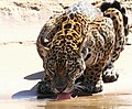 Jaguar (Panthera onca) young male drinking ... (48463358172).jpg